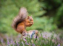 Écureuil rouge recueillant la nourriture Image stock