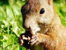 Écureuil rouge sauvage mangeant une noix. Photos libres de droits