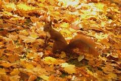 Écureuil rouge. Sciurus vulgaris Photos libres de droits