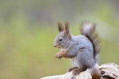 Écureuil rouge (Sciurus vulgaris) images libres de droits