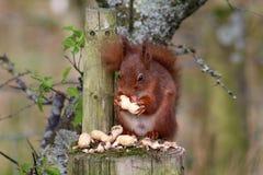 Écureuil rouge, Sciurus vulgaris, mangeant des arachides Photo libre de droits