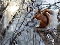Écureuil rouge se reposant sur un arbre cassé images libres de droits