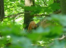Écureuil rouge se tenant sur la branche de l'arbre Photographie stock