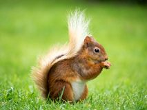 Écureuil rouge, secteur de lac, R-U Photographie stock