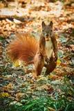 Écureuil rouge semblant drôle se tenant sur deux jambes avec un écrou dans la bouche étant déconcertée comment elle pourrait avoi photo stock