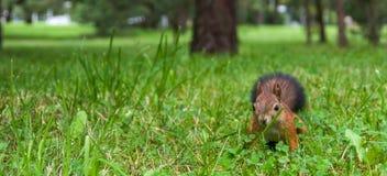Écureuil rouge sur l'herbe Photographie stock libre de droits