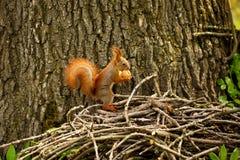 Écureuil rouge sur la forêt d'automne images stock