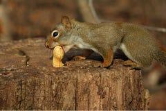 Écureuil rouge sur le tronçon Photo stock