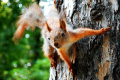 Écureuil rouge sur un arbre Images libres de droits