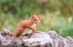 Écureuil rouge sur un identifiez-vous Italie d'arbre photographie stock libre de droits