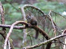 Écureuil rouge sur une branche d'arbre Photos stock