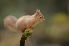 Écureuil rouge vigilant Photographie stock libre de droits