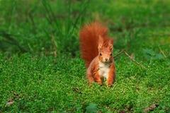 Écureuil roux image stock