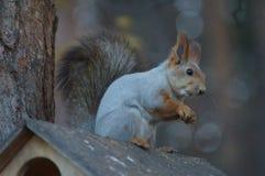 Écureuil sauvage Photographie stock libre de droits