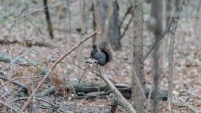 Écureuil sauvage tenant un écrou images stock