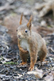 Écureuil (Sciurus vulgaris), se reposant au sol Images libres de droits