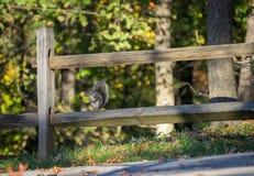Écureuil se reposant sur la barrière en bois image libre de droits