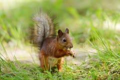 Écureuil se reposant sur une herbe Photo stock