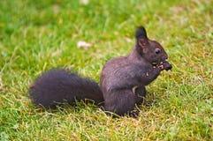Écureuil sombre Images libres de droits
