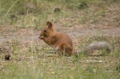 Écureuil stockant des écrous pour l'hiver Photographie stock libre de droits