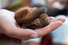 Écureuil sur des paumes Photo libre de droits