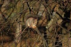 Écureuil sur l'arbre images libres de droits