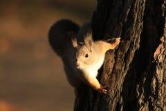 Écureuil sur l'arbre photo libre de droits