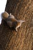 Écureuil sur l'arbre Photographie stock