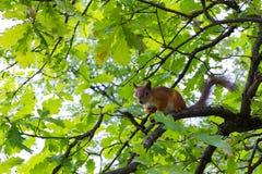 Écureuil sur l'arbre Photo stock