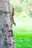 Écureuil sur l'arbre en parc Photo stock