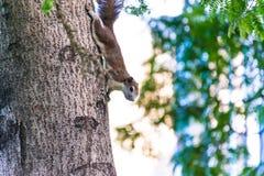 Écureuil sur l'arbre en parc Photos stock