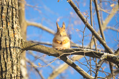 Écureuil sur l'arbre en sa position originale Photographie stock libre de droits