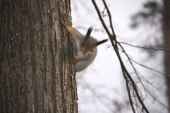 Écureuil sur l'arbre, préparant pour sauter Images stock