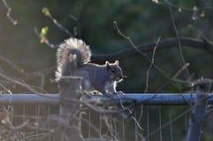 Écureuil sur la barrière Photos stock