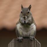 Écureuil sur la barrière Eating une arachide Photos libres de droits