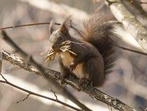Écureuil sur la branche Photo libre de droits