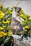 Écureuil sur la pierre Photos stock