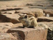 Écureuil sur la pierre Photographie stock