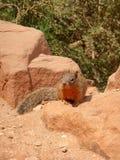 Écureuil sur la roche Photo libre de droits