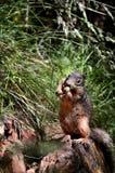 Écureuil sur la roche Images libres de droits