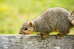 Écureuil sur le banc Images libres de droits