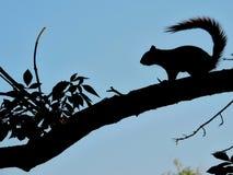 Écureuil sur le bleu Photos libres de droits