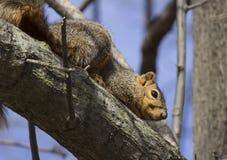 Écureuil sur le branchement Images libres de droits