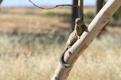 Écureuil sur le branchement photo stock