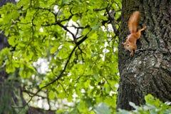 Écureuil sur le chêne Photos libres de droits