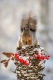 Écureuil sur le dessus Photographie stock