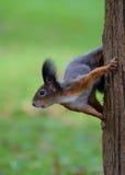 Écureuil sur le joncteur réseau d'arbre Photos libres de droits