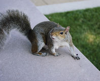 Écureuil sur le mail national Image libre de droits