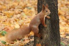 Écureuil sur le tronc d'un arbre images libres de droits