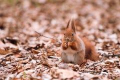 Écureuil sur les lames Images stock